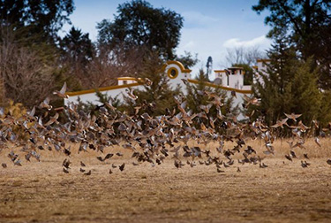 Argentina-Dove-Hunting---Doves-Flying-Over-Field