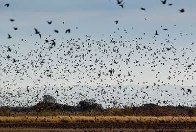 Cordba Argentina Dove Hunting - Bird Flying Over the Field