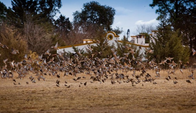 Argentina Dove Hunting - Doves Flying Over Field