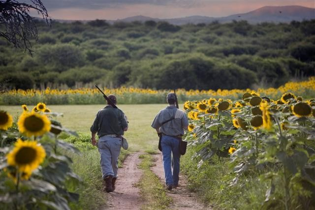 Dove Hunting in Argentina - 2 Hunters Walking in Sunflower Field