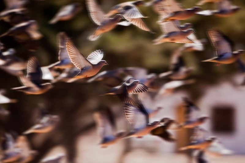 Dove Hunting in Argentina - Birds Flying Close Up Pic