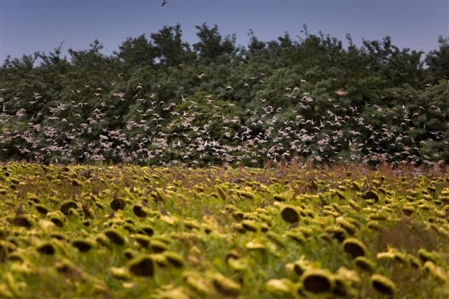 Dove Hunting in Argentina - Sunflower Field with Lots of Doves