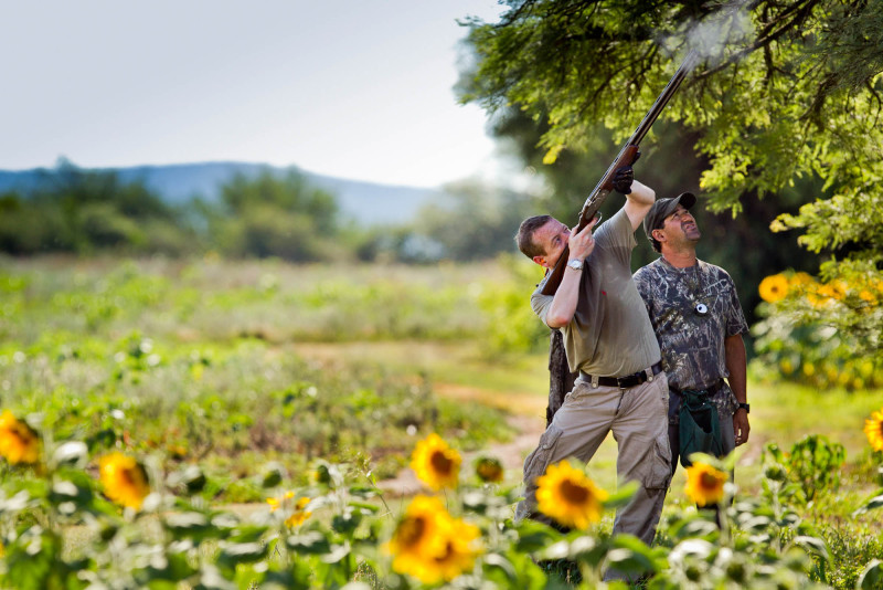 Single Argentina Dove Hunting Shooter in Sunflower Field
